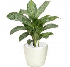 Kwiaty wprzedpokoju, rośliny doprzedpokoju, jakie rośliny wybrać doprzedpokoju, zdrowe kwiaty doprzedpokoju