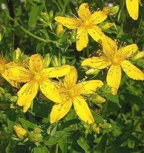 Dziurawiec zwyczajny, pospolity, zioła, kwiaty, rośliny, zioła nadepresję,ogród,lek nadepresję
