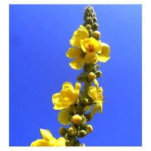 Dziewanna wielkokwiatowa, dziewanna, naturalne sposoby, rośliny, zioła, kwiaty