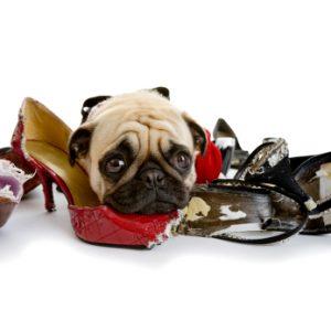 Pies gryzie meble , Pies gryzie buty, pies sam, pies gryzie wszystko