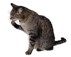 jak dbać okota, pielęgnacja kota, kot krótkowłosy pielęgnacja, kąpanie kota, kocia higiena