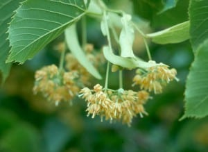 kwiat lipy, kwiat lipy nalewka, kwiat lipy właściwości lecznicze, kwiat lipy leczenie
