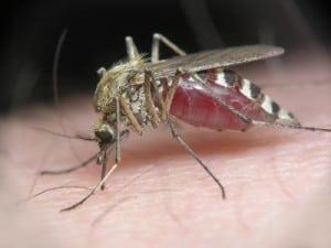 jak sobie radzić zkomarami, jak sobie radzić zmeszkami, zioła nakomary, jak odpędzić komary, co przykładać naukąszenie owadów, co przykładać naukąszenie meszek, ukąszenia komarów, co jeść byniegryzły komary, zapachy którychnielubią komary, komary iolejki eteryczne,