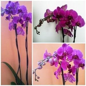 jak pielęgnować storczyki, pielęgnowanie storczyka, orchidea pielęgnowanie, przesadzanie storczyków, podlewanie storczyka