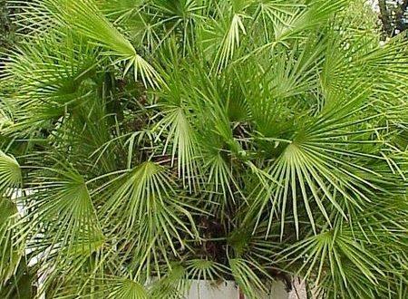 Uprawa palm wdomu