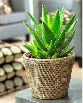 Proste wuprawie rośliny doniczkowe - aloes