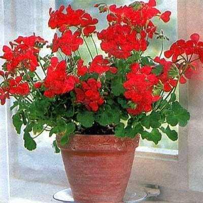 Proste wuprawie rośliny doniczkowe - pelargonia