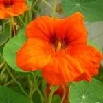 jadalne kwiaty, dania zkwiatów, kwiaty wkuchni, smażone kwiaty cukinii, smażone kwiaty dyni, sałatka znasturcji, sałatka zmieczyków, jadalne kwiaty Polski, jadalne kwiaty zogródka, jadalne dzikie kwiaty