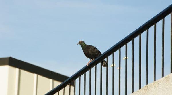 Gołębie jak się ich pozbyć z balkonu i parapetu